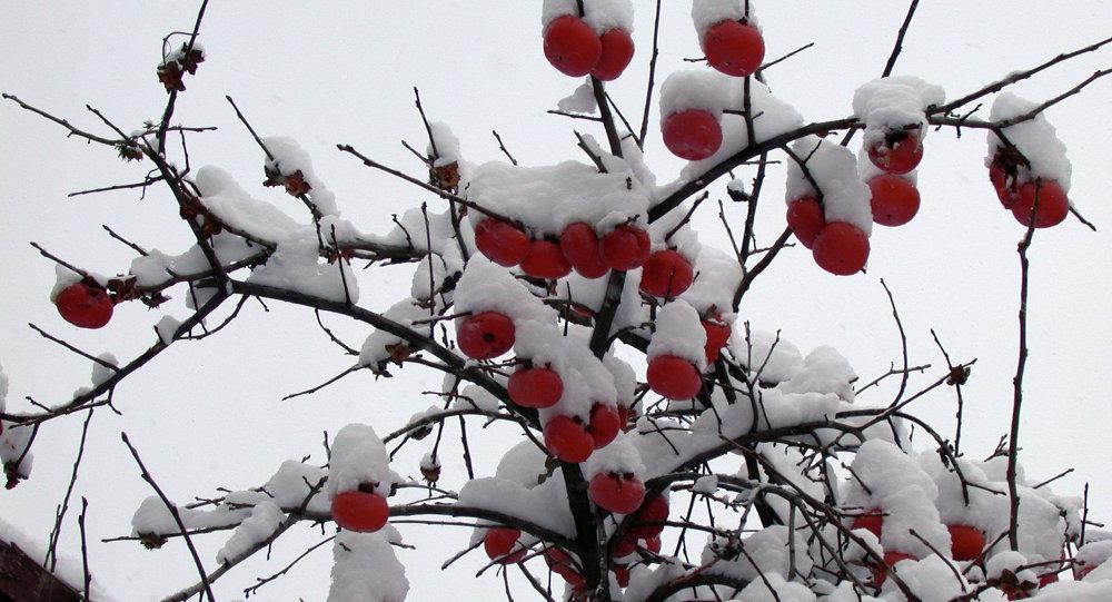 Дерево с хурмой в Тбилиси