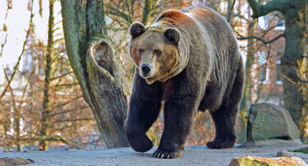 Медведи в Калининградском зоопарке