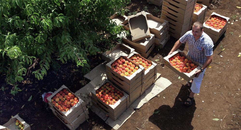 Сбор урожая персиков в Симферополе
