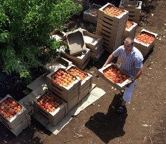 Сбор урожая персиков. Архивное фото