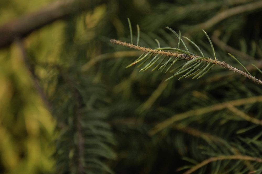 Живые ветки для елки привезли с Иссык-Куля.