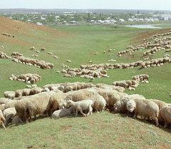 Овцы на пастбище. Архивное фото