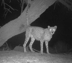 Экологи сфотографировали сахарского гепарда, редчайшую кошку Африки