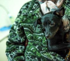 Собака породы тойтерьер. Архивное фото