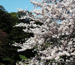 Цветение сакуры. Архивное фото