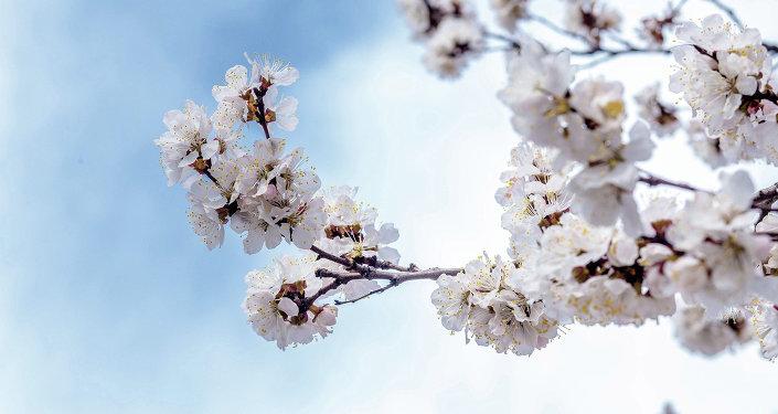 Наблюдение за цветением урюка — добрая традиция в Кыргызстане