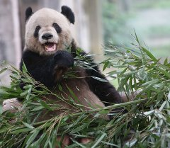 Панда. Архивное фото