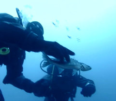 Дайверы освобождают рыбу из старых браконьерских сетей