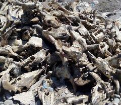 На мусорный полигон сбрасывают отходы забитого скота