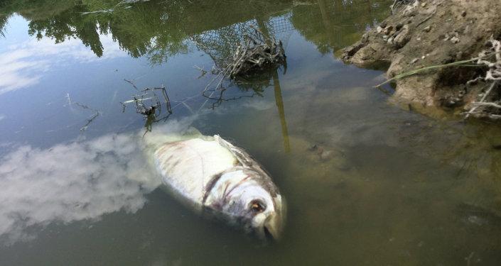 Море мертвой рыбы в озере навоза