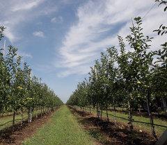 Уборка урожая яблок. Архивное фото