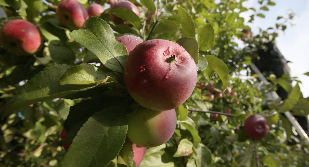 Сад яблок. Архивное фото