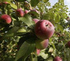 Урожай яблок, архивное фото