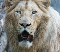 Белый лев. Архивное фото