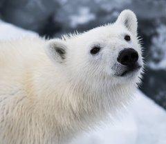 Белый медвежонок. Архивное фото
