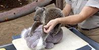 Сотрудники зоопарка Сан-Диего взвесили девятимесячного самца коалы по кличке Джоуи, посадив вместе с ним на весы игрушечного двойника, чтобы малыш не боялся. Смотрите на видео, как проходила  процедура.