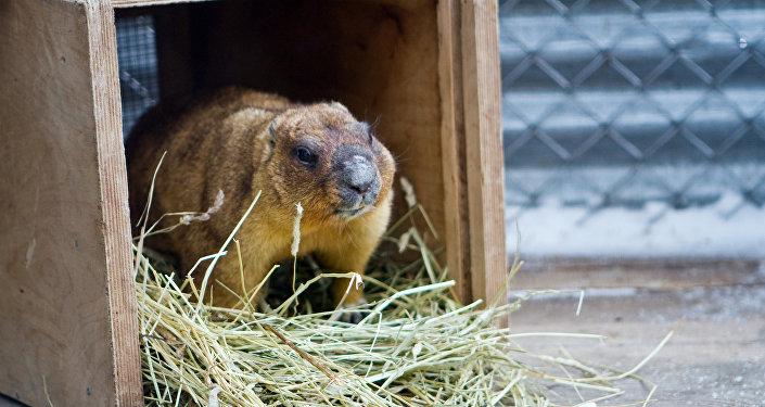 Сурок в нижегородском зоопарке Лимпопо в День сурка