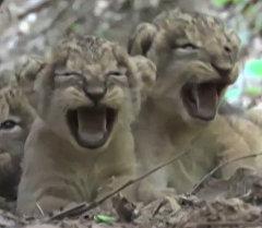 Азиатские львята играли с мамой и отдыхали после обеда в индийском заповеднике