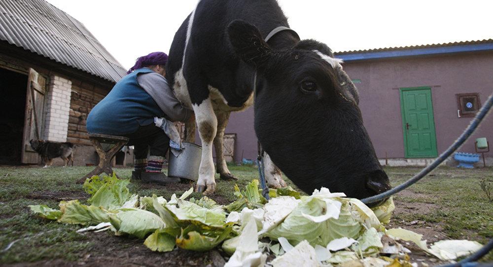 Сбор молока у частников-производителей в Белоруссии