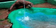 Душ для Рублика: двухлетняя выдра купалась и играла в зоопарке Красноярска