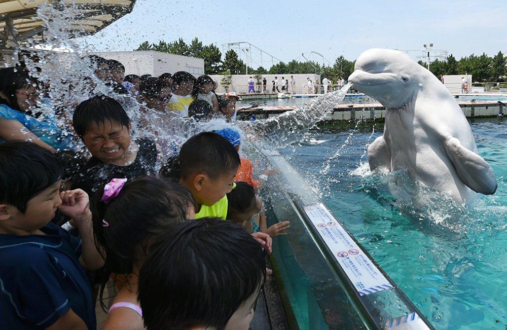 Йокогамдагы Hakkeijima Sea Paradise комплексиндеги аквариумда белуха балдарга суу чачып жатат