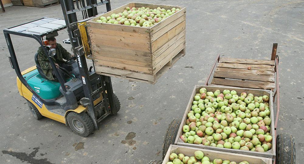 Уборка яблок в садах. Архивное фото