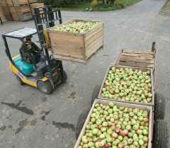 Сбор урожая яблок. Архивное фото