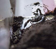 Террариум для скорпиона. Архивное фото