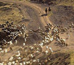 Пастухи с овцами. Архивное фото