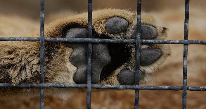 Лапа льва  в клетке. Архивное фото