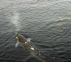 Малый полосатик или кит Минкеподнимается на поверхность для вдоха (рекадрирован). Архивное фото