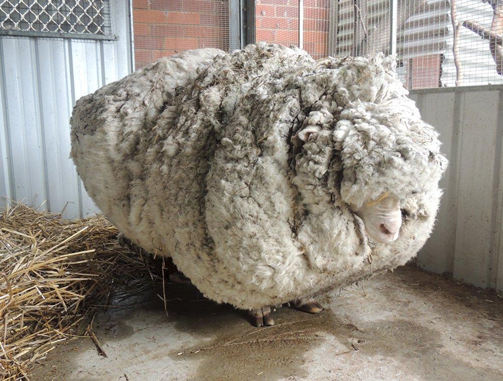 Заблудившаяся овца, покрытая гигантской шерстью