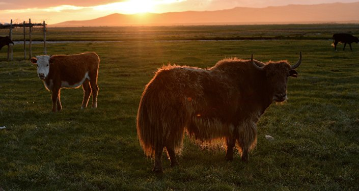 Корова и як. Архивное фото