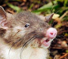 Фотография удивительного крысо-кабана из Индонезии