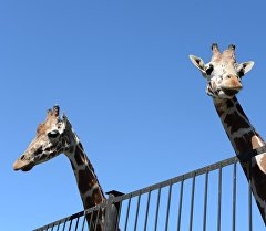 Жирафы в зоопарке. Архивное фото