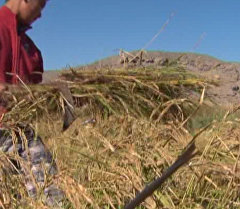 Баткену не хватает завода по упаковке риса — о проблемах бизнеса на юг