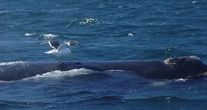 Чайка клюет аргентинского кита в заливе Нуэво.