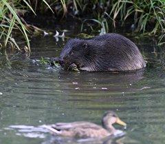 Бобер ест листья в реке. Архивное фото