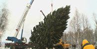 Лесная красавица: как выглядит главная новогодняя ель России