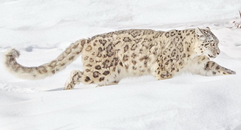 Илбирс (снежный барс). Архивное фото
