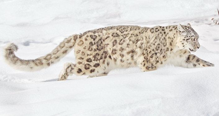 Илбирс (снежный барс). Архив