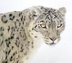 Архивное фото снежного барса