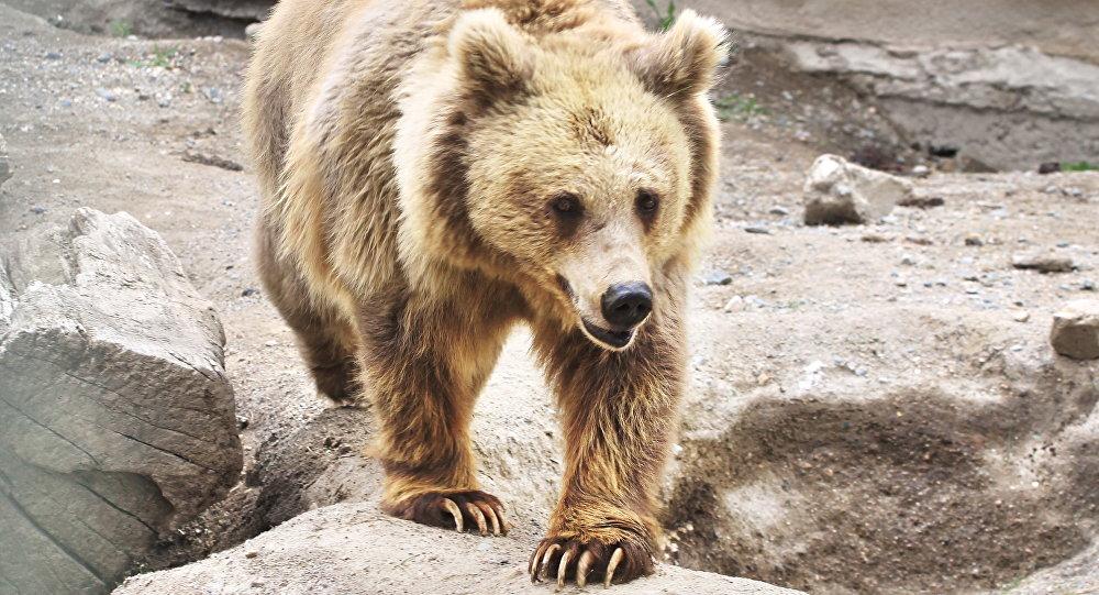 Тянь-шаньский белокоготный медведь обитает тянь-шаньский медведь на Памире, в Гималаях и на Тянь-Шане. Архивное фото