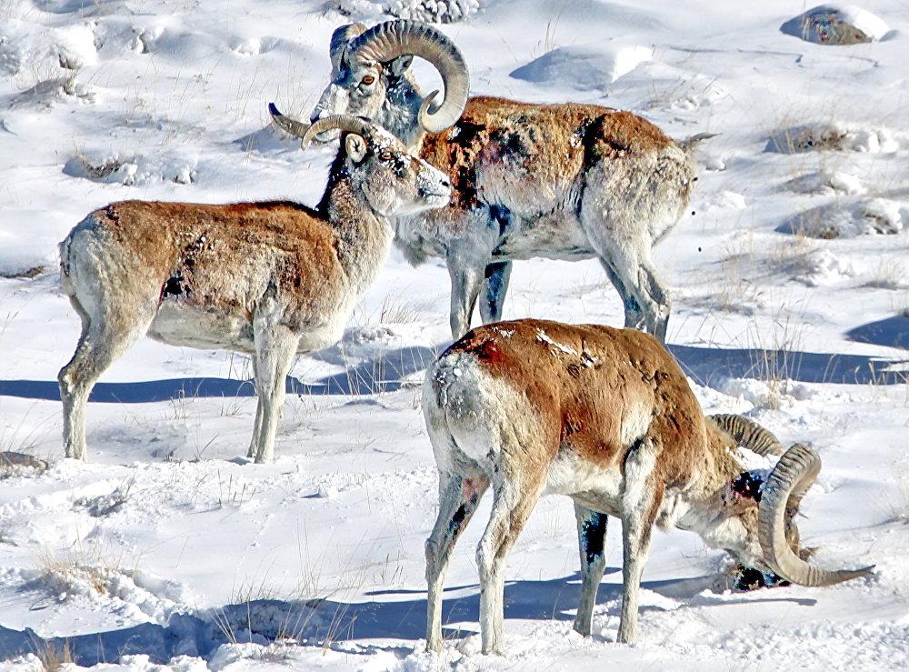 Самые редкие и исчезающие животные Кыргызстана в кадрах Топ 10 самых редких и исчезающих видов животных Кыргызстана