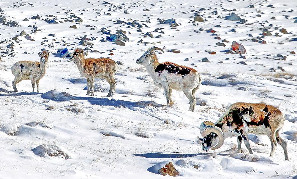 Топ-10 самых редких и исчезающих видов животных Кыргызстана