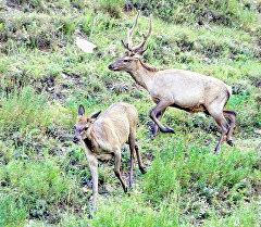 Марал (благородный олень). Архивное фото