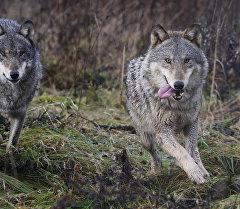 Волки. Архивное фото