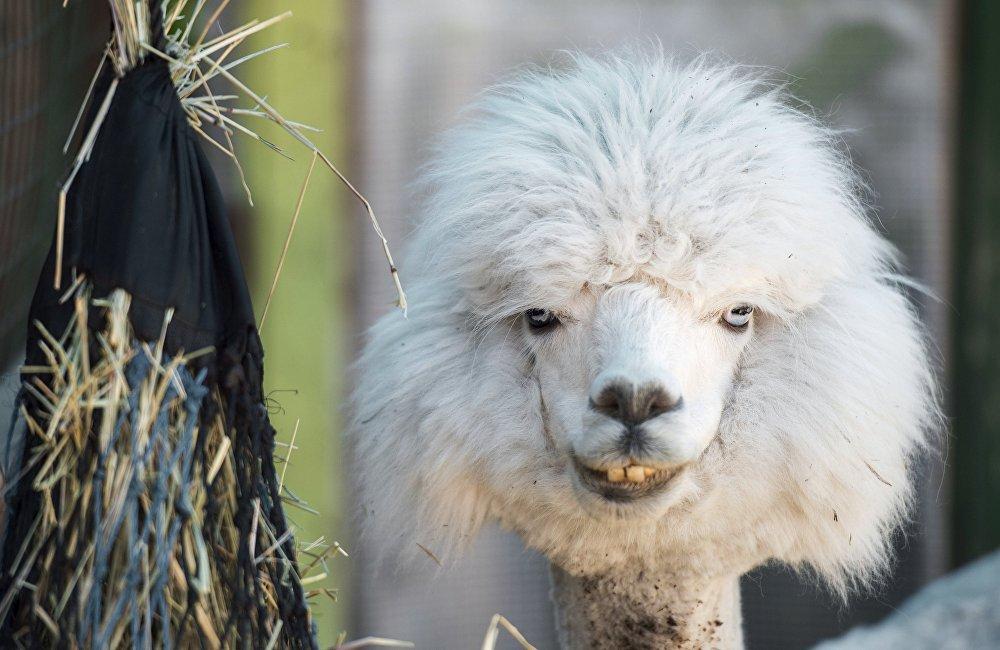 Ферма Российские альпаки