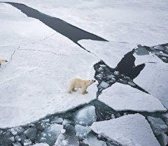 Арктикадагы ак аюу мамалагы менен. Архив