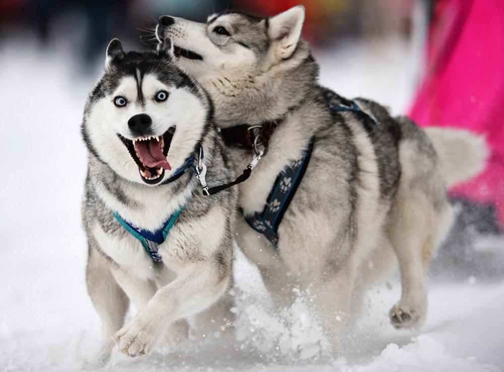 Гонки на собачьих упряжках Рождественский заезд - 2015